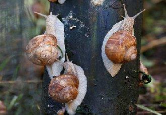 蜗牛在养殖过程中要注意什么?蜗牛养殖8注意