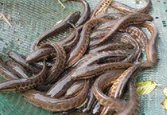<b>黑鱼得了腹水病怎么办?黑鱼腹水病的病因与防治方法</b>