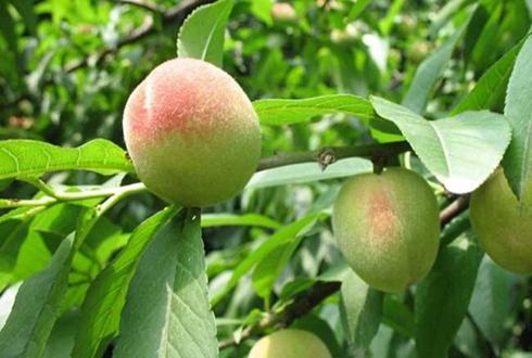 唐山市大长春村:村主任王永辉带动村民种植桃树 跟农户一起增收致富