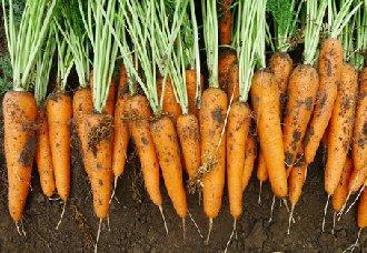 <b>胡萝卜常见的病害有哪些?胡萝卜常见的病害和防治方法</b>