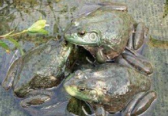 <b>牛蛙红腿病有哪些症状?牛蛙红腿病的症状与预防治疗措施</b>