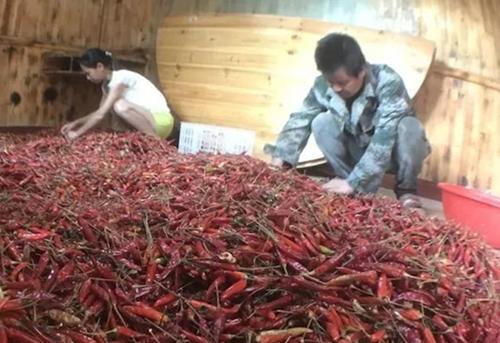 江西资溪县330亩辣椒滞销 当地政府和扶贫干部齐出力
