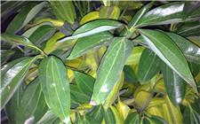平安树叶子发黄的原因以及解决方法