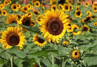内蒙古五原县将于8月8日举行世界向日葵产业发展论坛 历时10天