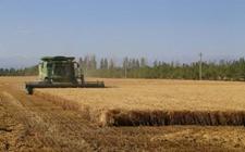 新疆:奇台县冬小麦单产量高达724公斤 创新纪录!