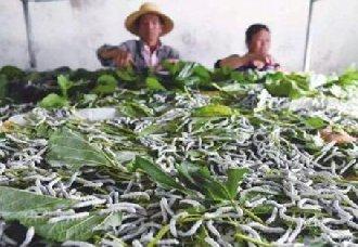 <b>广西:利用蚕桑产业扶贫 既实现增收又实现脱贫</b>