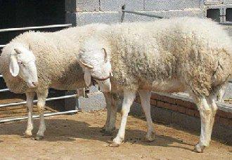 羊蓝舌病有什么症状?羊蓝舌病的预防治疗