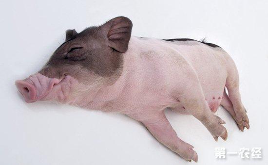 天气太热,猪感光过敏怎么办?图片