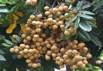 <b>龙眼树常见的虫害有哪些?龙眼常见的虫害和防治方法</b>