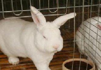 獭兔中耳炎有什么症状?獭兔中耳炎的症状和防治措施