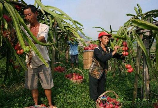 为什么不管农民种什么水果好像都容易滞销?根源是什么?