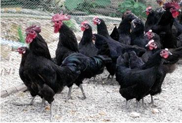 2018年8月1日养鸡市场行情如何?今日养鸡行情概述