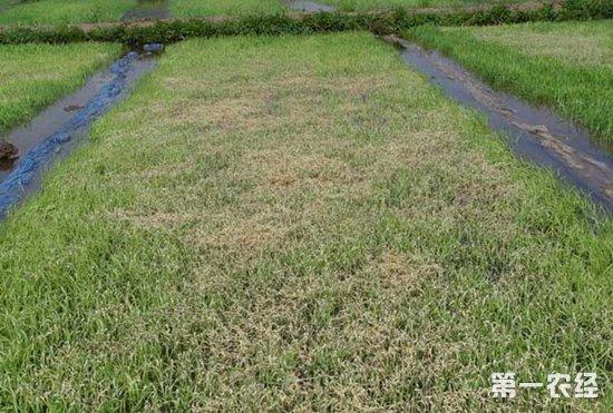水稻得了立枯病怎么办?水稻立枯病的防治措施