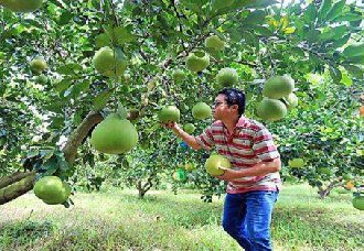 重庆巴南:老党员陈开蓉成立蜜柚专业合作色 带动农民增收致富