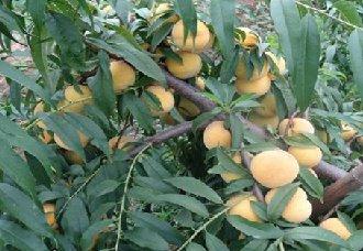 湖南郴州桂东县:种植黄桃并依靠农村电商 实现经济发展