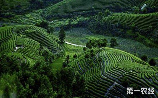 凤凰茶业匠心十年 打造武夷岩茶密云龙