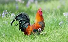 <b>2018年8月2日养鸡市场行情如何?今日养鸡行情概述</b>