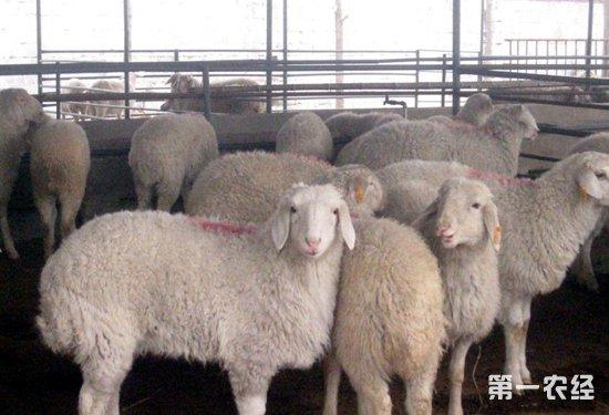 羊蓝舌病是什么?羊蓝舌病怎么治