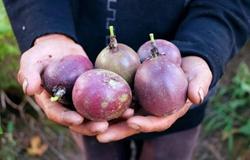 广西柳州柳城县:依靠种植百香果成功致富 脱掉贫困帽
