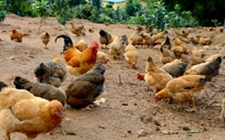 <b>防疫日卖活鸡,处以1000元以上3000元以下的罚款</b>