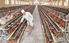 <b>肉鸡笼养设备该如何选择?日常养护又需要做什么?</b>