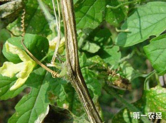 黄瓜蔓枯病要如何治疗?黄瓜蔓枯病的防治措施