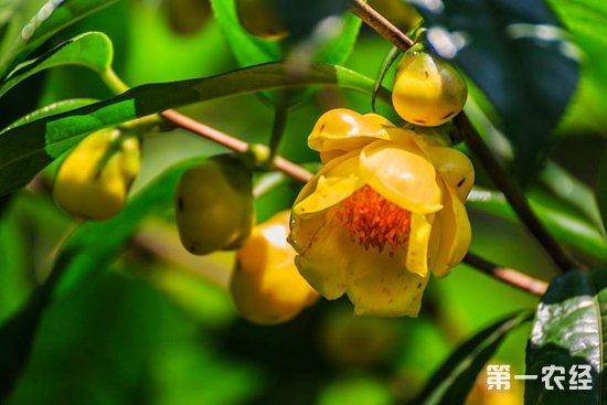 金花茶要怎么种?金花茶的种植技术