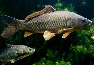 <b>草鱼得了肠炎病怎么办? 草鱼肠炎病的防治措施</b>