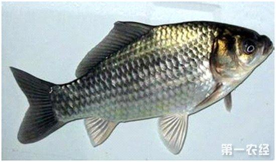 鲫鱼常见的疾病以及防治措施