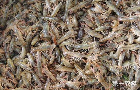 小龙虾苗为什么要浸泡 小龙虾苗的浸泡步骤