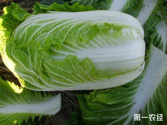 2018年上半年全国多地大白菜价格上涨