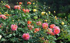 月季花为什么会盲枝?月季花盲枝是什么原因?