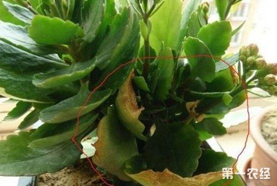长寿花叶子发黄、变软、枯萎、长白毛的原因及挽救方法