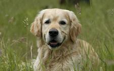 狗狗有隐睾症就会失去生育能力吗?犬隐睾症癌变机率高吗?