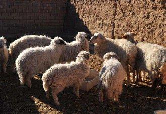 <b>宁夏成功培育出裘肉兼用滩羊新品种,将加快当地滩羊产业升级转型</b>