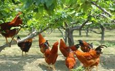 养鸡行业竞争激烈?山地散养鸡,葡京网址创业好选择!