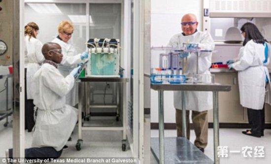 猪细胞培育人造肺试验 科学家:无器官排斥风险