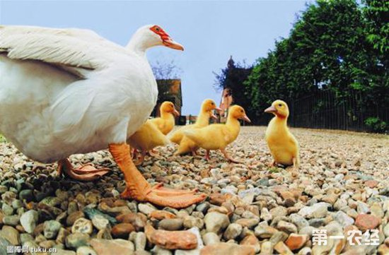 五种常见的鸭病以及防治措施