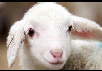<b>羔羊死亡率高是为什么?羔羊死亡原因分析</b>