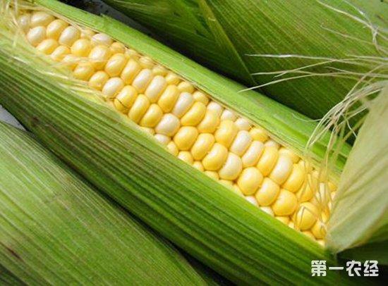 如何提高玉米的抗旱能力?