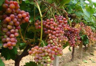 <b>浙江开化县:退伍青年汪志全回乡种植葡萄 走出自己的创业致富路</b>