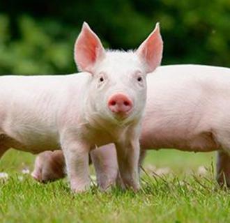 非洲猪瘟对国内养猪业会造成多大的影响?是一个灾难吗?