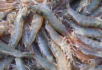 <b>对虾养殖技术的新突破,有助于改善水质节约能源</b>