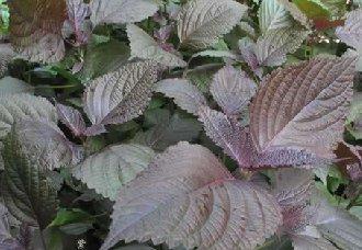 紫苏怎么种植?紫苏的种植技术