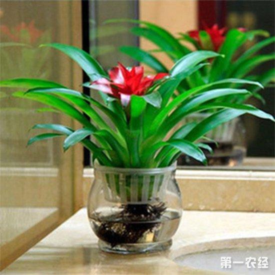 观赏凤梨可以水培吗?观赏凤梨的水培技术