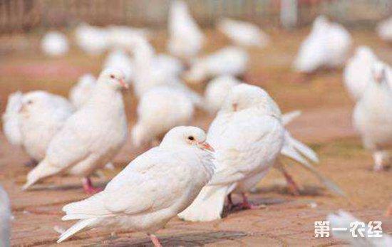 夏天要怎么养鸽 夏季养鸽的注意事项