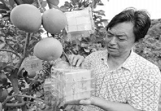 柚子还有方形和元宝形?重庆张文辉试种出柚子新品种