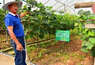 <b>重庆石盘村:李世相的40多亩葡萄产出四万余斤 卖出100万元</b>