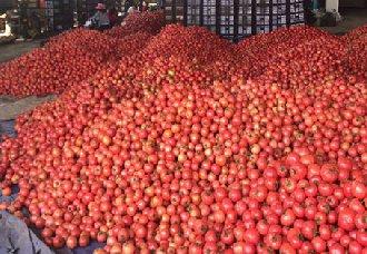 内蒙古天山镇:万斤滞销西红柿已卖出 种植户并与企业签订长期订单