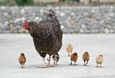 泰森食品:鸡肉、猪肉业务也受到贸易战的影响